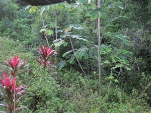 vegetation carbet _2